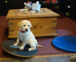 yellow lab puppy on disk