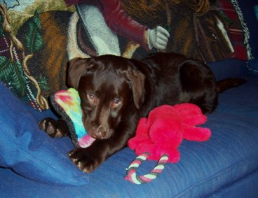 chocolate lab pup with dog toys