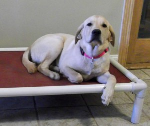 yellow lab on raised dog bed