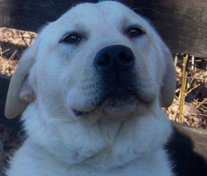 yellow lab dog face