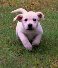 labrador puppy running towards  person with camera
