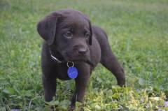 Chocolate Lab puppy