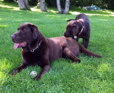 Image Two chocolate labs laying in the grass.