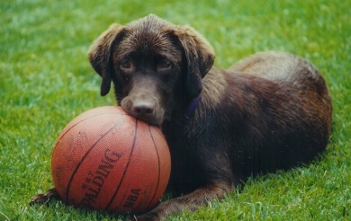 Image of chocolate lab with a  ball