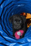 Lab puppy in a tunnel