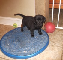 lab pup on a knobby mat