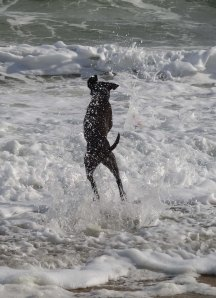 Lab jumping into ocean waves