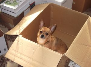 Chihuahua in a moving box