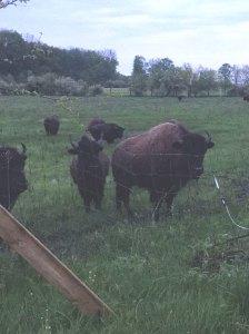 adult bison