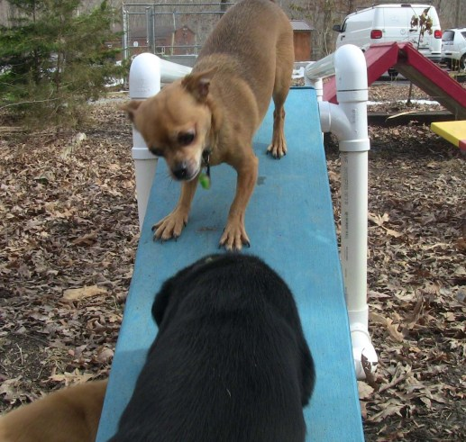 dog showing pup how to go up ramp