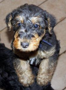 6 week airedale pup