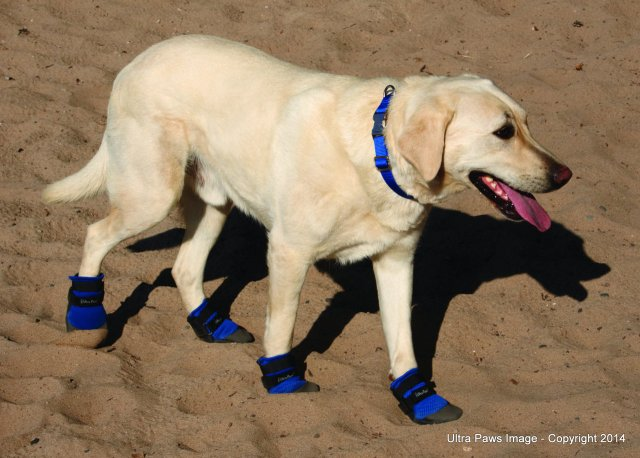 lab booties on sand